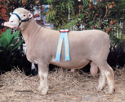 Englewood Park Junior Champion Ram Royal Melbourne Show 2009
